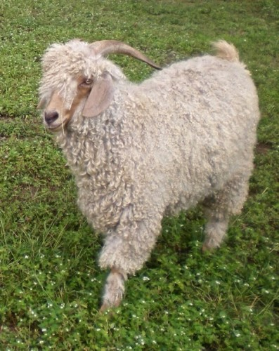 Beautiful Angora Goat